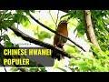 Gacor Burung Cina Hwamei Yang Populer Karena  Format Mp3