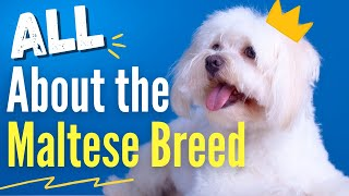 All About the Maltese Breed | Fun Facts & Characteristics