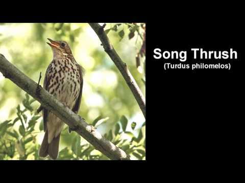 Song Thrush Bird Call  BIRDSONG