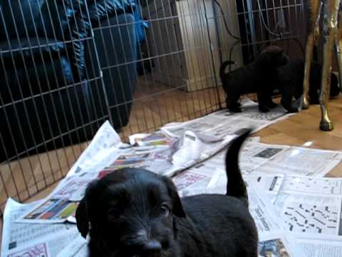 F1 Labradoodle Puppies For Sale