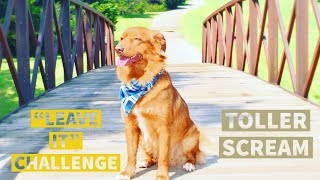 Nova scotia duck tolling retriever About the breed Toller scream Leave it challenge