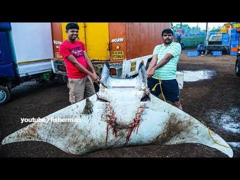 Live Big Ray Fish - Manta Fish Cutting - Fisherman