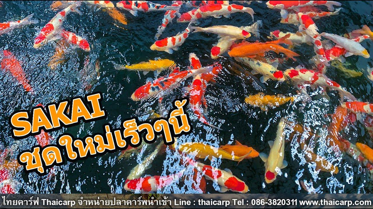 ปลานำเข้าใหม่จาก Sakai Fish Farm เร็วๆนี่