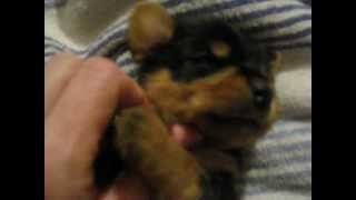 Male Yorkie Puppy Loves Being Tickled