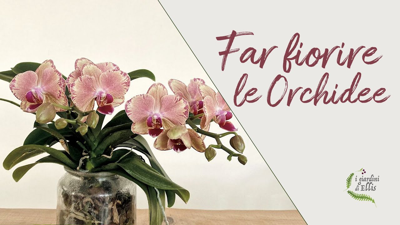 Download Come far fiorire l'orchidea - IL SEGRETO