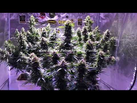 🌳GrowDiaries.com🌳 - How to grow Tangie'matic by FastBuds and Auto Durban Poison by Dutch Passion