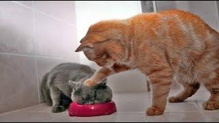 Смешные видео про кошек +до слез бесплатно.Ютуб смешные кошки