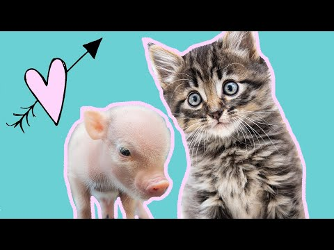 Emmett & Jez: Foster piglet & foster kitten are BFFs