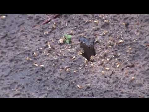 flying-termites-coming-out-from-underground-after-rain