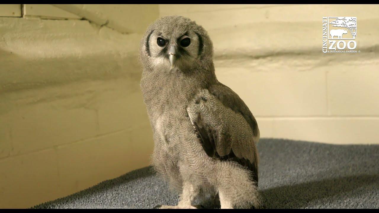 Eagle Owl Ori Gets a Bigger Space - Cincinnati Zoo