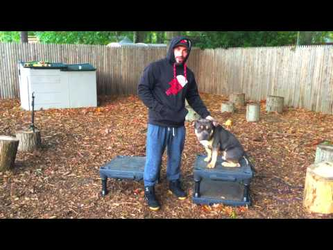 New York Dog Trainer: Owner Testimonialfor Spike-American Bully with Amazing Obedience