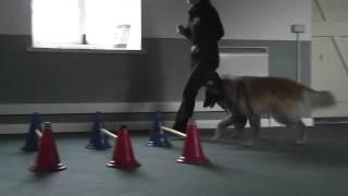 Dog Preparing For The Show Ring In Fareham And Gosport. Www.tammysdogtraining.co.uk