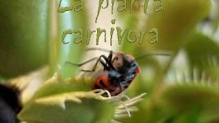pianta carnivora killer dionaea muscipula carnivorous plant