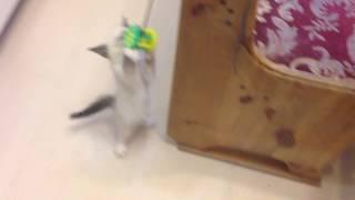 Котёнок бегает по квартире за игрушкой и кошкой)
