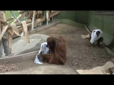 Orangutans Predict Super Bowl Winners 2009