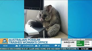 An Australian Woman Wasn't Expecting to Find This Little Guy in her Office