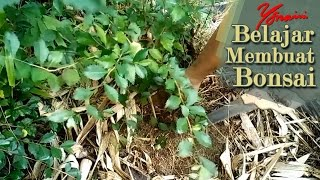 Video Bonsai Hunting, Collecting Hibiscus, Acalypha Siamensis and Guava Trees For Bonsai download MP3, 3GP, MP4, WEBM, AVI, FLV Agustus 2018