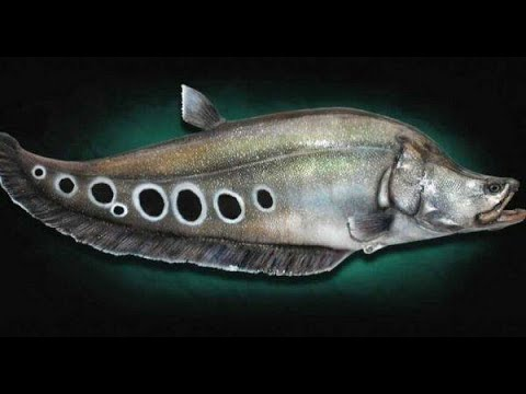Giant Clown Knife Fish