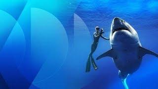 Baixar Un gigantesque requin blanc filmé près de Hawaï
