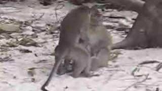 monkey threesome