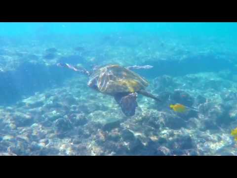 Grazing Sea Turtles - Kona Hawaii