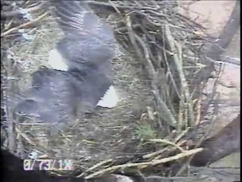 2015 Blackwater Eagle Cam - Parent in the Rain with 3 Eggs