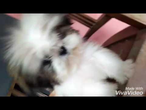 Super Mini Shih Tzu For Sale Youtube