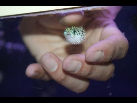 Handfeeding BABY Pufferfish!
