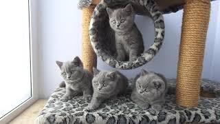 "Британские котята из питомника ""Luxury Tess"""