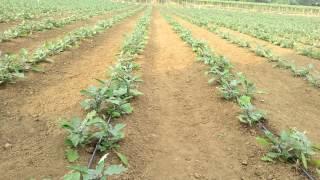 Brinjal farm