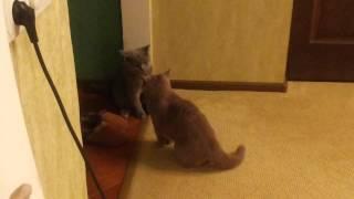 Кошачьи межличностные отношения. Британские коты.