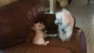 Mini Schnauzer And Poodle Fight!