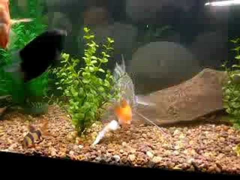 Freshwater fish eating shrimp youtube for Freshwater fish to eat
