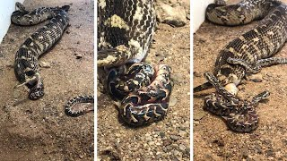 Puff Adder Gives Birth To Baby Snakes