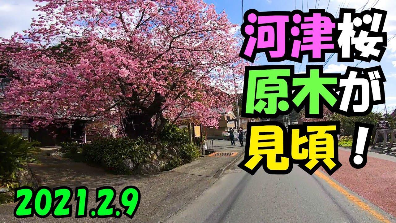 桜 原木 河津