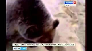 Нападение медведей в Сочи