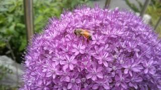 Allium giganteum, 알리움기간티움, アリウ…