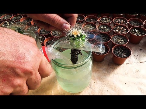 CACTUS cultivation on HYDROPONICS. Experiment. Water or soil - any differ?