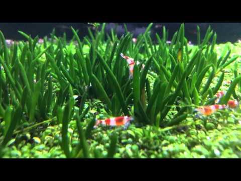 Littorella Uniflora Youtube