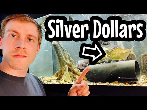 Silver Dollar Fish (Need To Know)