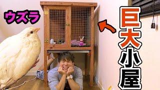 姫ウズラの巨大小屋を買いました!!【交◯注意】 PDS