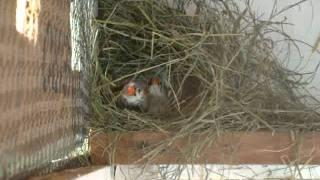 mandarim e calafate fazendo ninho