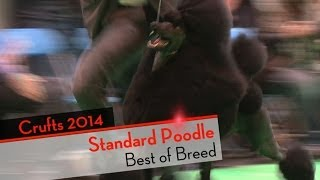 Crufts 2014 - Standard Poodle Best Of Breed