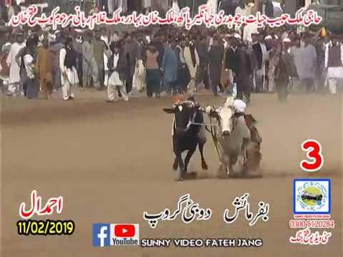 Bul Race In Pakistan Sunny Video Fateh Jang 11 02 2019 NO3
