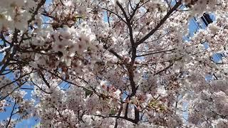 벚꽃2 동네 벚나무, 벚꽃터널 [꽃말: 순결, 절세미인…