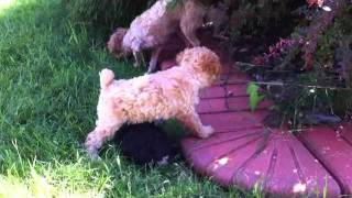Toy Poodles For Sale -- Two Female