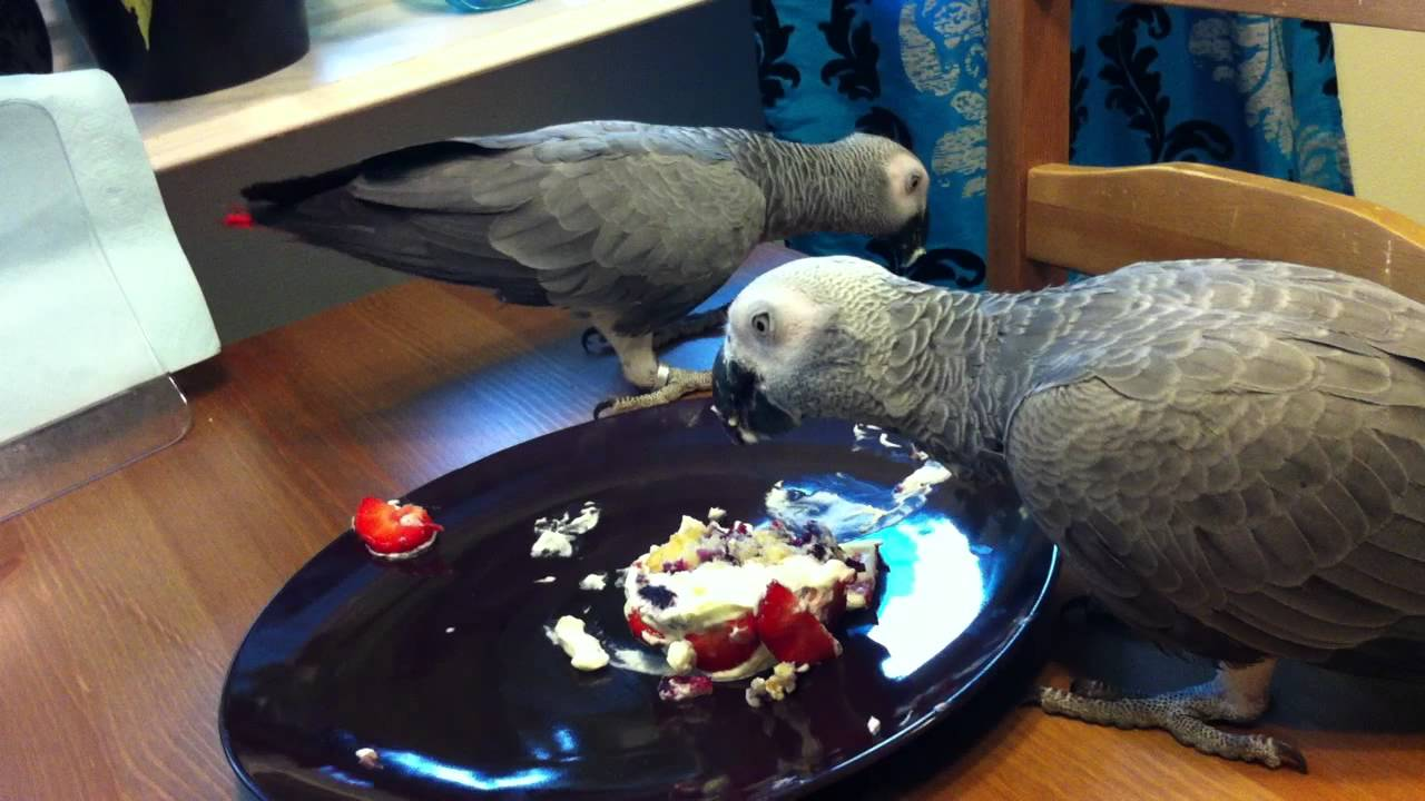 African Greys eating a parrotbirthday cake YouTube
