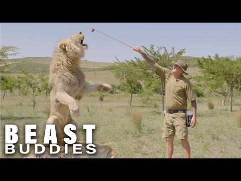I Have 7 Lions And They've Tried To Kill Me   BEAST BUDDIES