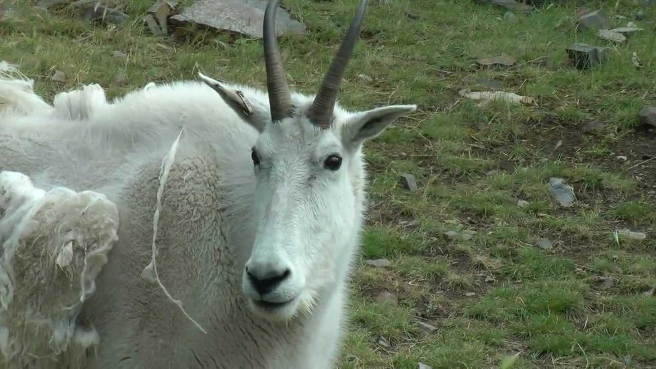 Yukon Mountain Goats part 2 - Gender and Anatomy - YouTube