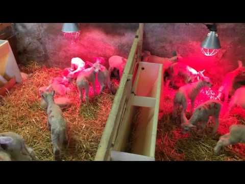 Over 850 lambs born from 330 ewes in Co Offaly